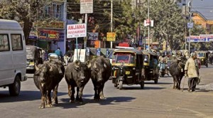 img-india-transport-cow